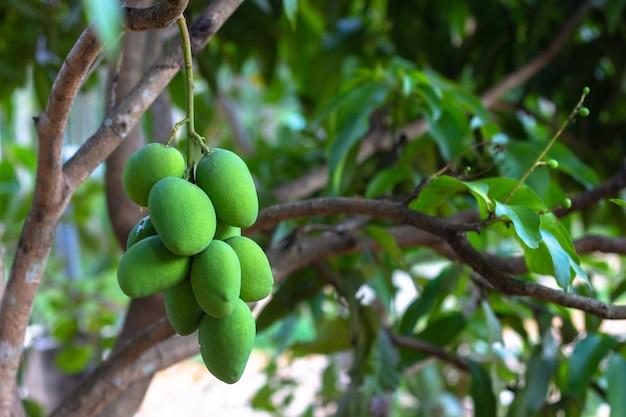 Chiuda sull'albero con la frutta verde del mango nel giardino.