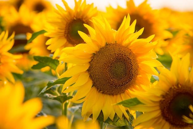 Chiuda sull'immagine del girasole giallo luminoso circondata da innumerevoli altri girasoli