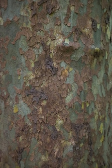 Chiuda sull'immagine della corteccia di albero chiazzata del sicomoro per verde della priorità bassa