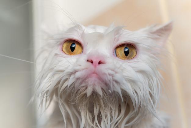 Chiuda sull'occhio di gatto persiano bagnato dopo fare un bagno.