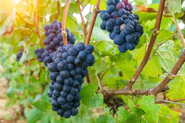 Chiuda sull'uva nella regione del champagne nel raccolto di autunno, reims, francia