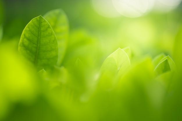 Chiuda sulla bella vista delle foglie verdi della natura sul fondo vago dell'albero della pianta con luce solare nel parco del giardino pubblico.