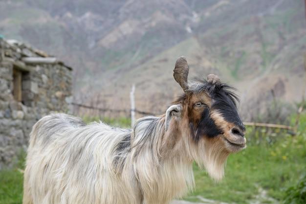 Chiuda sulla capra del kashmir con la bella barba, india