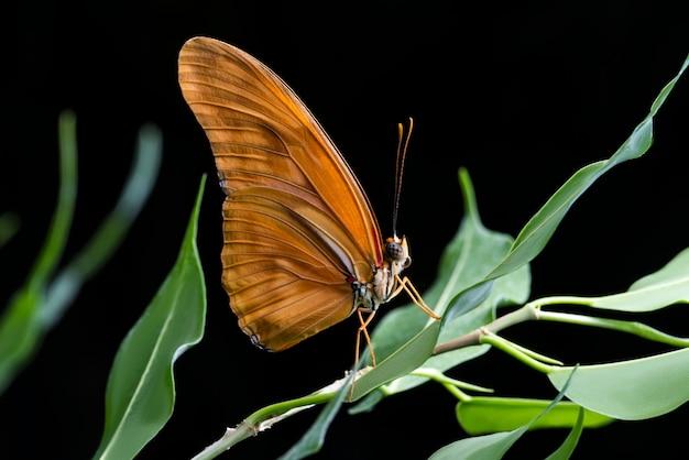 Chiuda sulla farfalla arancione con priorità bassa nera