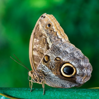Chiuda sulla farfalla di buckeye con priorità bassa confusa