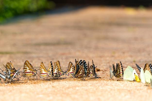 Chiuda sulla farfalla di monarca beva un'acqua sulla terra