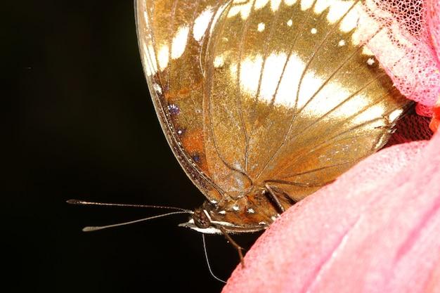 Chiuda sulla farfalla marrone