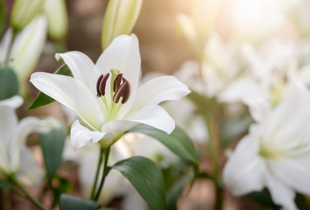 Chiuda sulla fioritura bianca di lilly nel giardino.