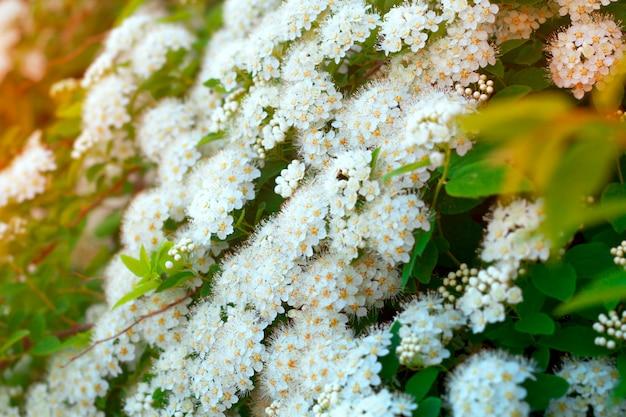 Chiuda sulla fioritura con il contesto naturale dei rami del fiore bianco