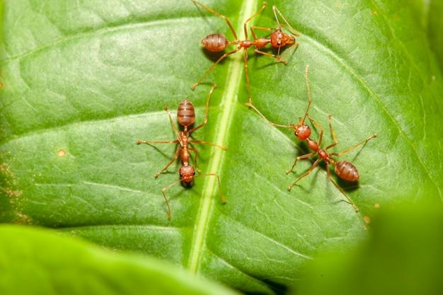 Chiuda sulla formica di tre rossi sulla foglia verde in natura alla tailandia