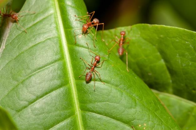 Chiuda sulla formica rossa della folla sulla foglia verde in natura alla tailandia