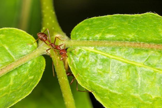 Chiuda sulla formica rossa su laef verde in natura alla tailandia