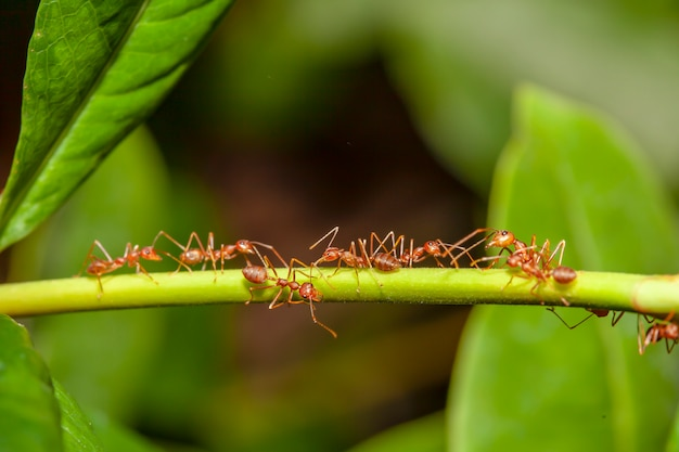 Chiuda sulla formica rossa sull'albero del bastone in natura alla tailandia