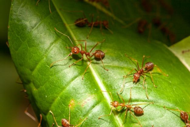 Chiuda sulla formica rossa sull'albero della foglia in natura alla tailandia