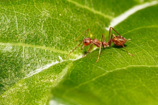 Chiuda sulla formica rossa sulla foglia verde in natura alla tailandia