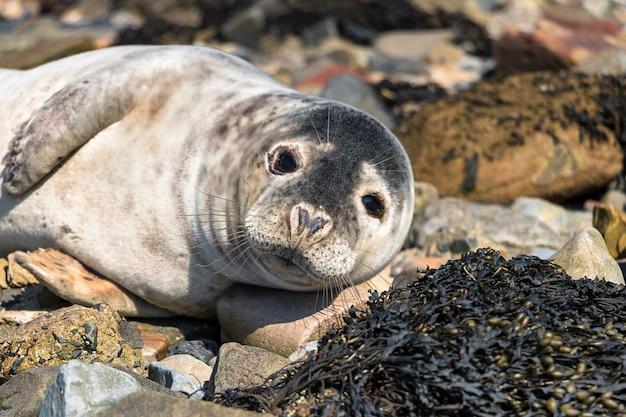 Chiuda sulla foto della guarnizione adulta sulla spiaggia del mare del nord vicino a northumberland nel regno unito