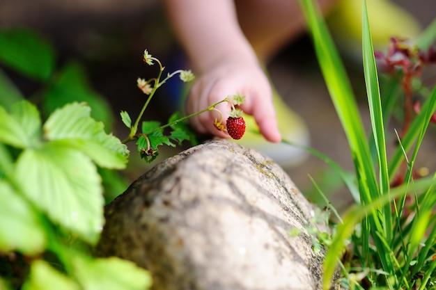 Chiuda sulla foto della mano del piccolo bambino che seleziona la fragola di bosco dolce