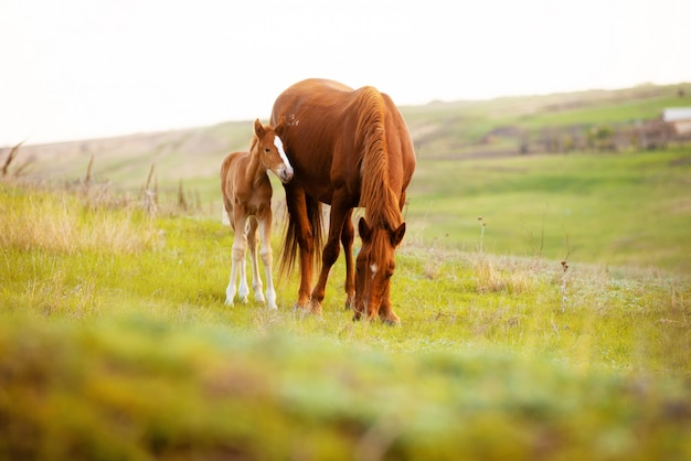 Chiuda sulla foto di piccolo puledro e del suo cavallo della mamma che mangiano l'erba nel campo