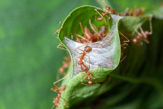 Chiuda sulla guardia della formica rossa per il nido rosso della formica in foglia verde