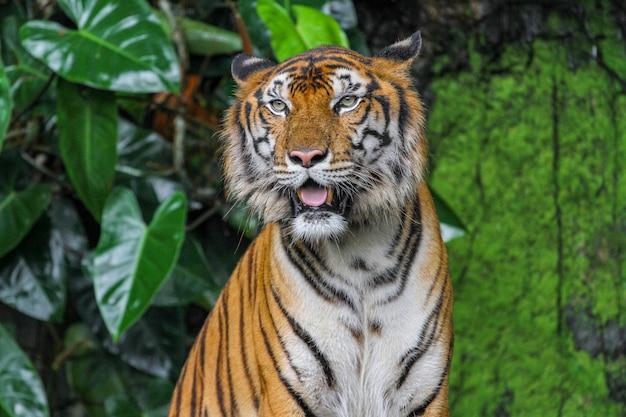 Chiuda sulla lingua di manifestazione della tigre in giardino