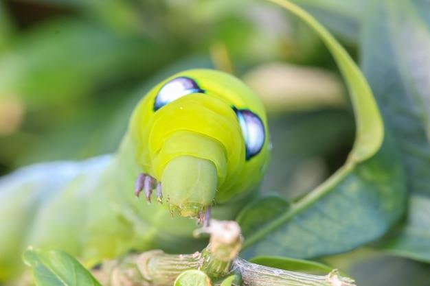Chiuda sulla macro caterpillar / il verme verde sta mangiando la foglia dell'albero