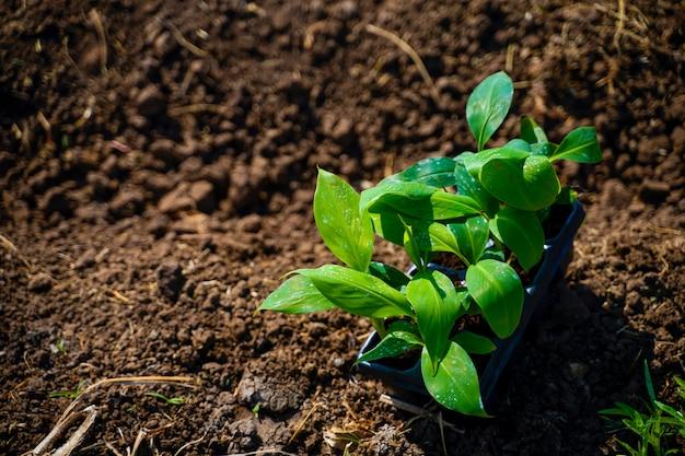 Chiuda sulla macro del germoglio della banana su suolo nell'azienda agricola della banana