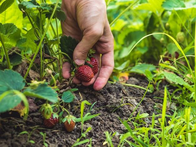 Chiuda sulla mano che seleziona una fragola che cresce nel giardino