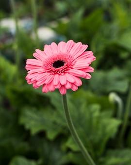 Chiuda sulla margherita rosa nel giardino