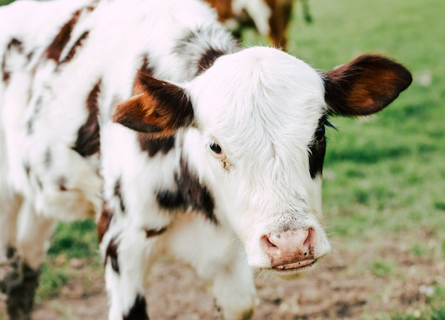Chiuda sulla mucca nell'azienda agricola