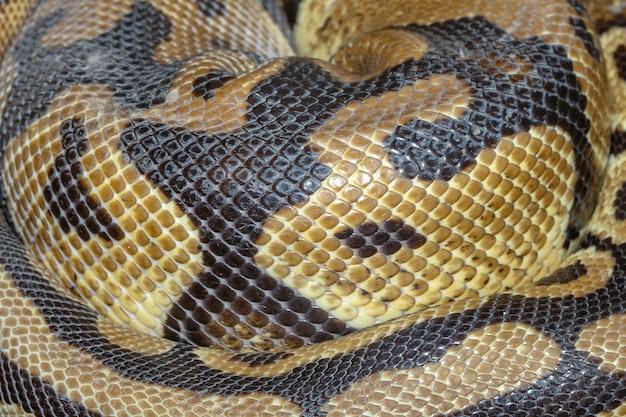 Chiuda sulla pelle del serpente del pitone della palla