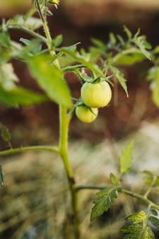 Chiuda sulla pianta di tomatoe nel giardino