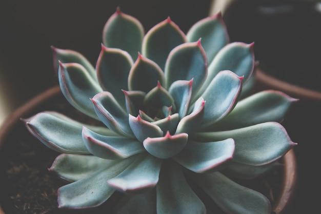 Chiuda sulla pianta succulente, la foto scura, la rosetta succulente tonificata di echeveria.