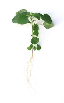 Chiuda sulla pianta verde dell'albero con la radice