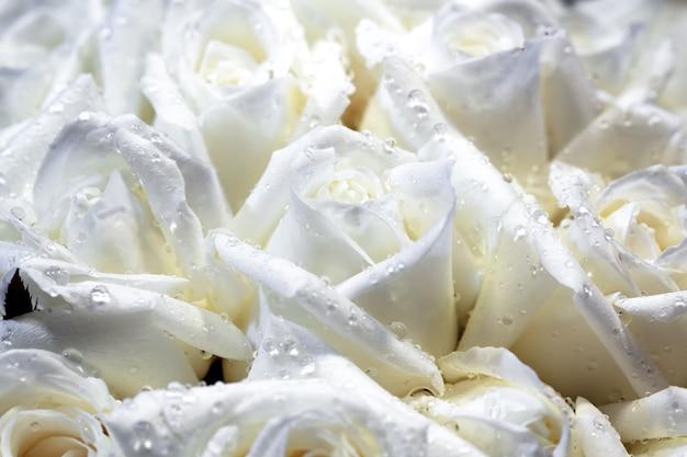 Chiuda sulla priorità bassa delle rose bianche