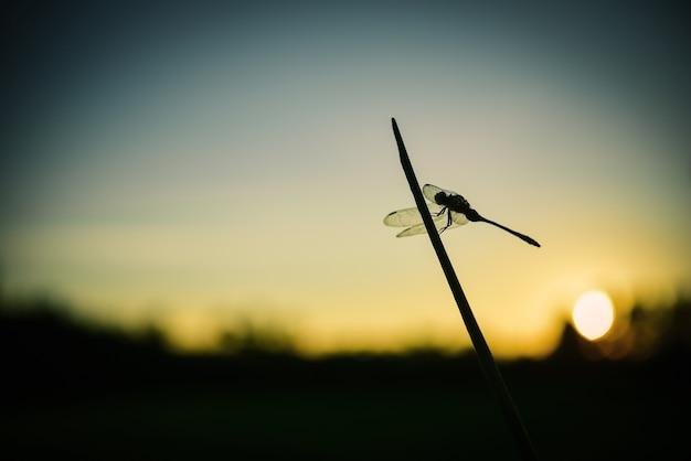 Chiuda sulla siluetta libellula su erba.