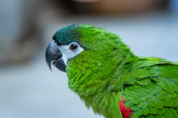 Chiuda sulla spalla verde dell'ara rossa di hahn