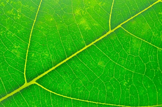 Chiuda sulla struttura della foglia verde, macro