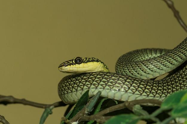 Chiuda sulla testa chrysopelea ornata serpente