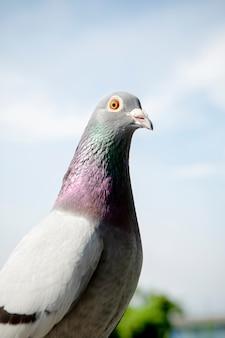 Chiuda sulla testa dell'uccello del piccione di corsa di velocità all'aperto
