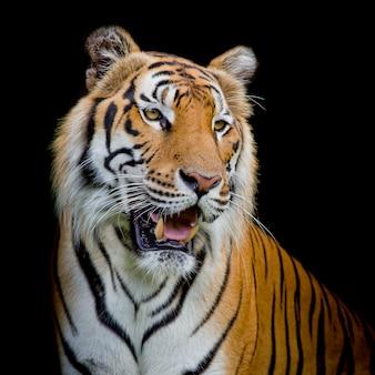 Chiuda sulla tigre del fronte isolata su fondo nero