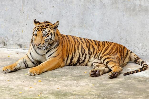 Chiuda sulla tigre sul pavimento del cemento in tailandia