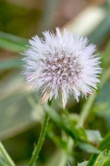 Chiuda sulla vista del fiore bello del dente di leone (taraxacum officinale).