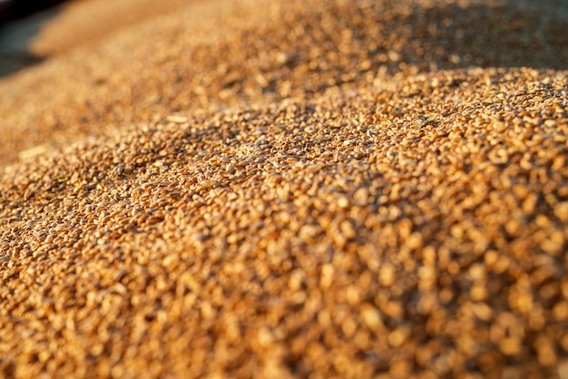 Chiuda sulla vista del fuoco dei semi del grano in un trattore-rimorchio durante la raccolta.