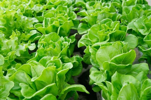 Chiuda sulla vista della lattuga di querce verdi in azienda agricola idroponica