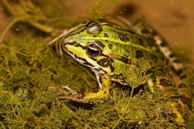Chiuda sulla vista della rana commestibile (pelophylax esculentus) su una pozza.