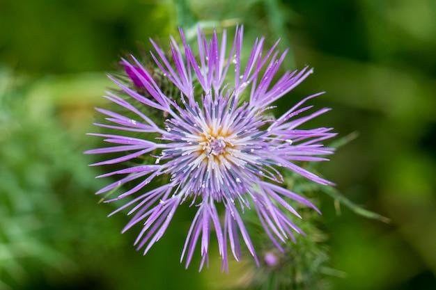 Chiuda sulla vista di bello fiore mediterraneo del cardo selvatico (galactites tomentosa).