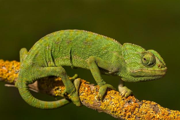 Chiuda sulla vista di un camaleonte verde sveglio sul selvaggio.