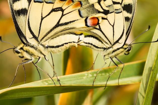 Chiuda sulla vista due accoppiamento bello degli insetti della farfalla di coda di rondine (macedonia di papilio).
