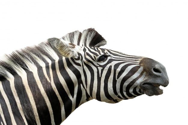 Chiuda sulla zebra capa su bianco