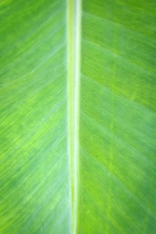 Chiuda sulle foglie della banana su fondo e su struttura.